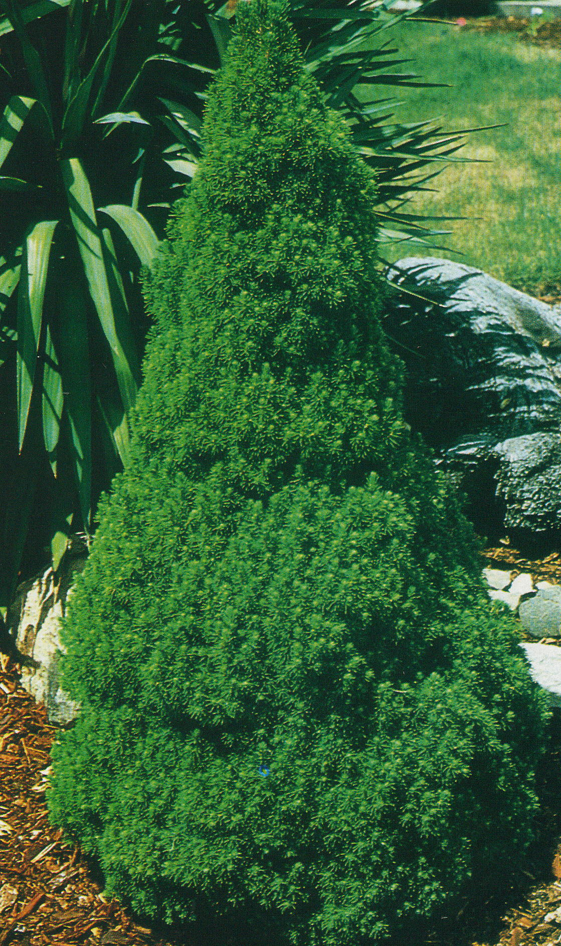 Dwarf fir trees types bing images for Small slow growing evergreen trees