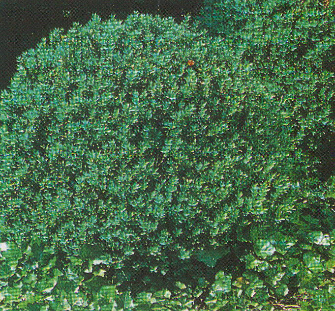 Shrubs for zone 6 28 images the skillful bee for Low maintenance evergreen shrubs