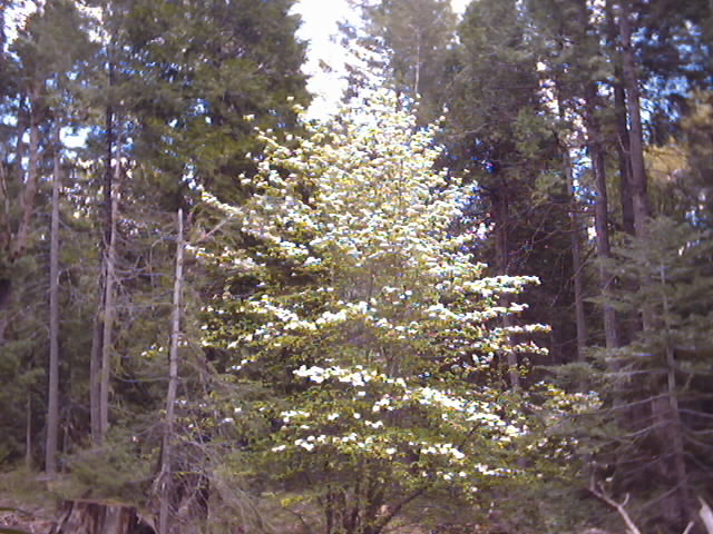 Forest Pacific Dogwood in Spring