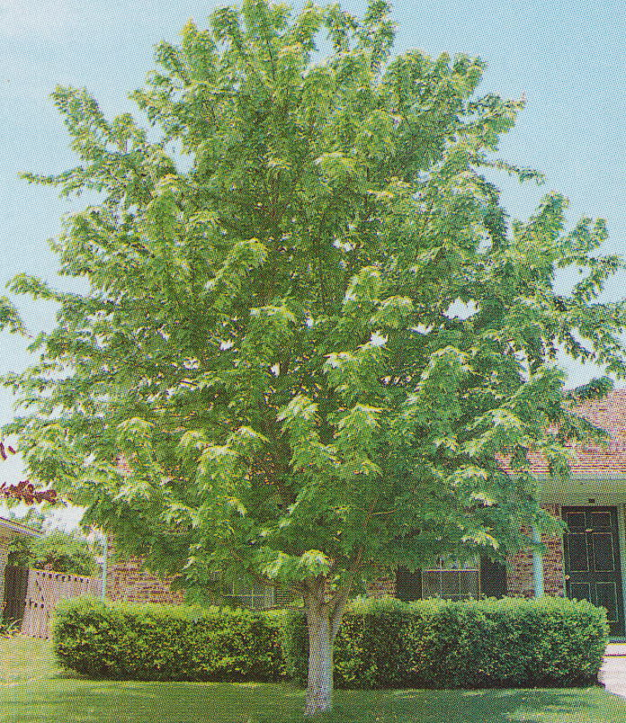 Silver Maple Tree Japanese